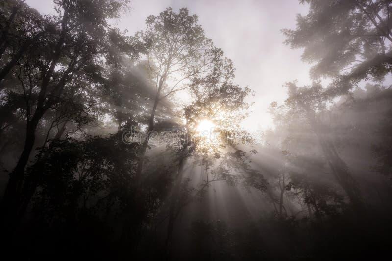 ochtendstralen door bos met mist stock afbeelding