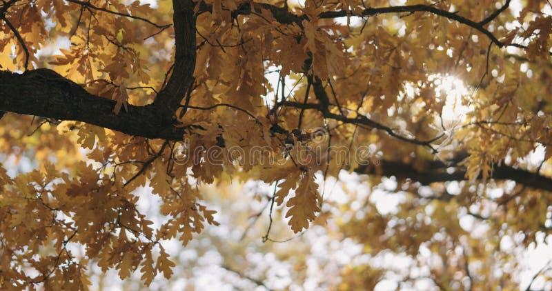 Ochtendzon die door de herfst eiken bladeren gluren royalty-vrije stock foto