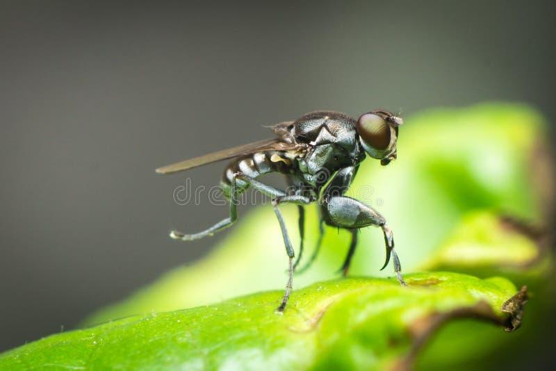 Ochthera fluga royaltyfri bild