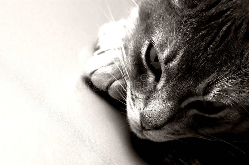 Ocicat stock photography