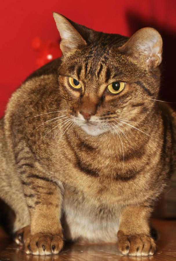 Ocicat breed of cat stock photography