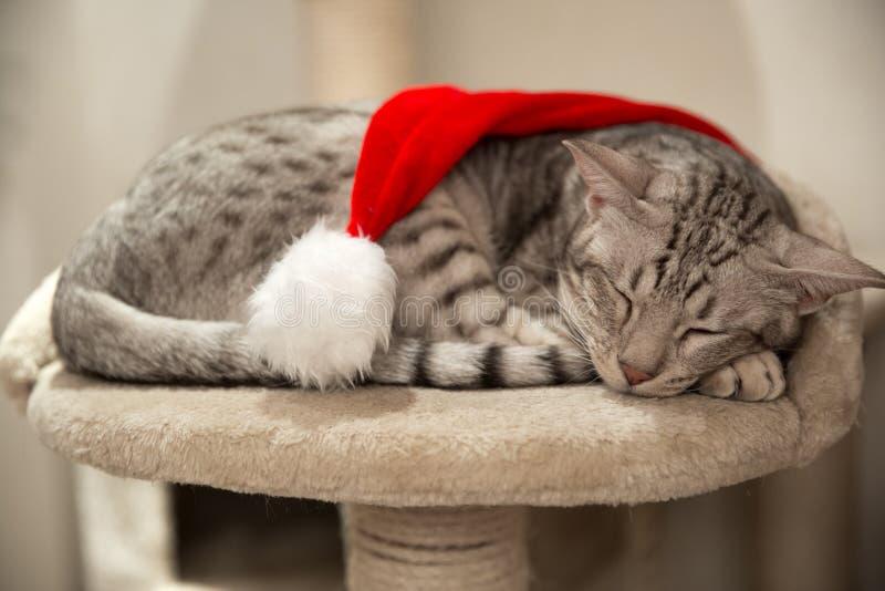 Ocicat del gato en la Navidad con el sombrero rojo, durmiendo pacífico en el suyo imagen de archivo