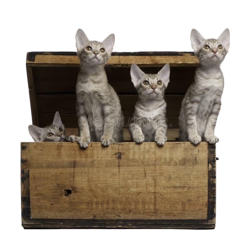 Ocicat Kätzchen, 13 Wochen alt, tauchend von einem Kasten auf stockfotos