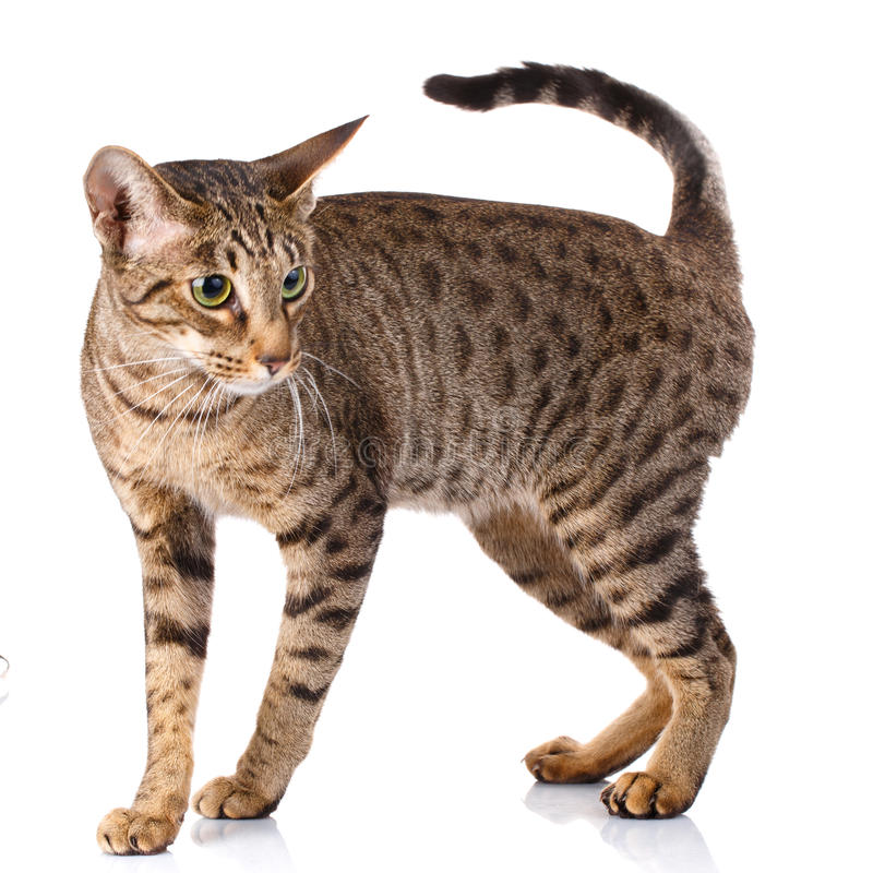 Ocicat male cat. On a white background stock photo