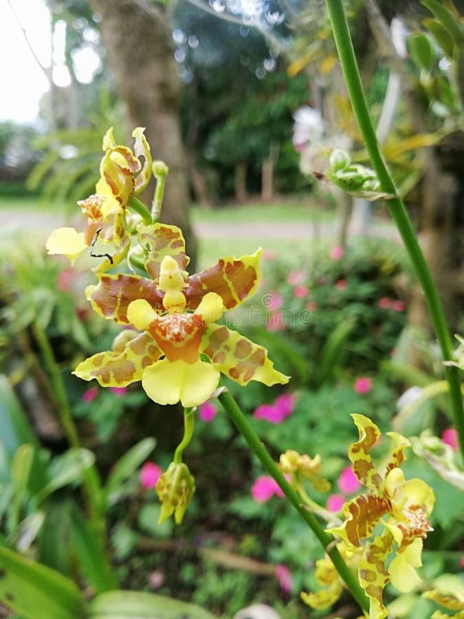 Ocidium Orchid Fiori Magic Blooming nei tropici Giardini speciali immagini stock
