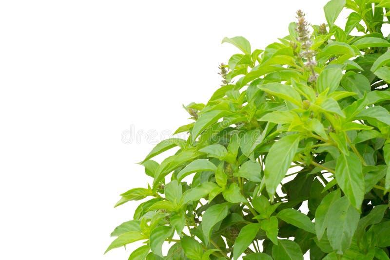 Ocimum basilicum. Isolated on white background royalty free stock image