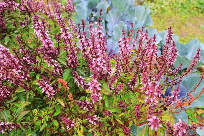 Ocimum kiliman basilicum basilu rośliny zielarski zakończenie w górę liścia zdjęcia royalty free