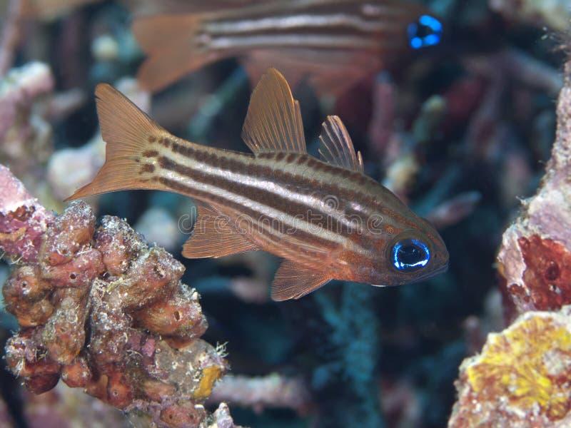 Ockra-gjord randig cardinalfish royaltyfri bild