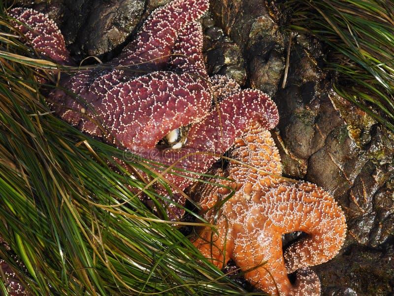 Ockrahavsstjärnor i en tidvattenpöl med havsväxt royaltyfria foton