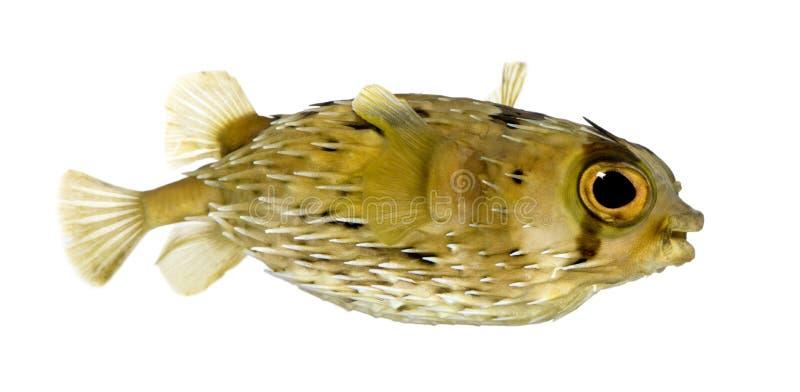 också som balloo vet långa den spiny porcupinefishryggen arkivbild