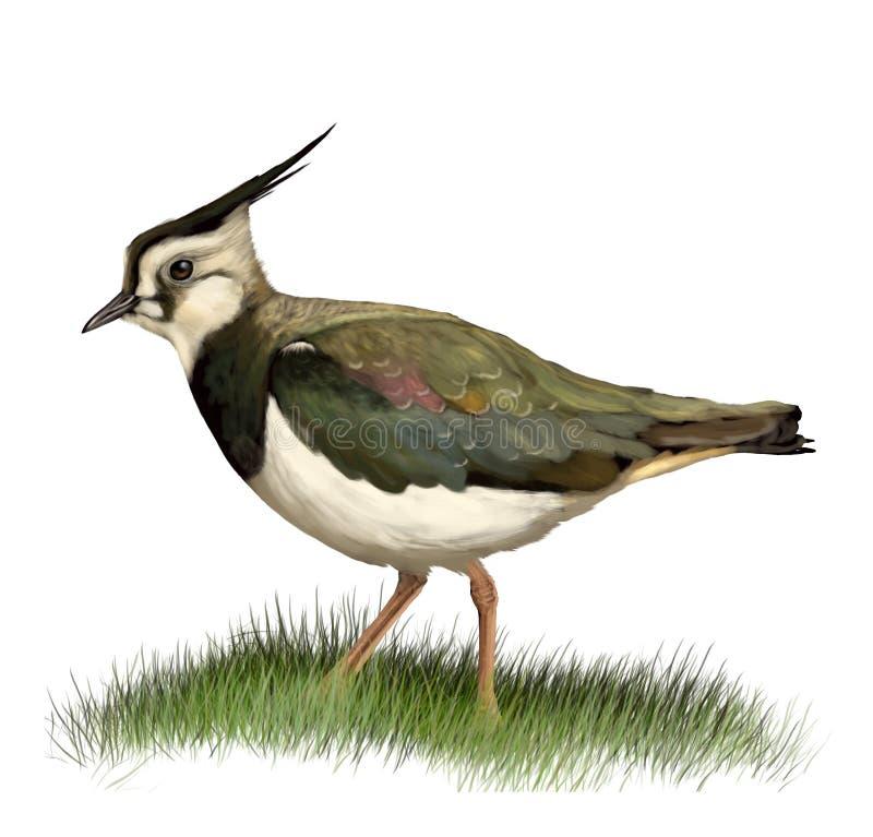 också som green vet den nordliga peewitploveren för lapwingen stock illustrationer