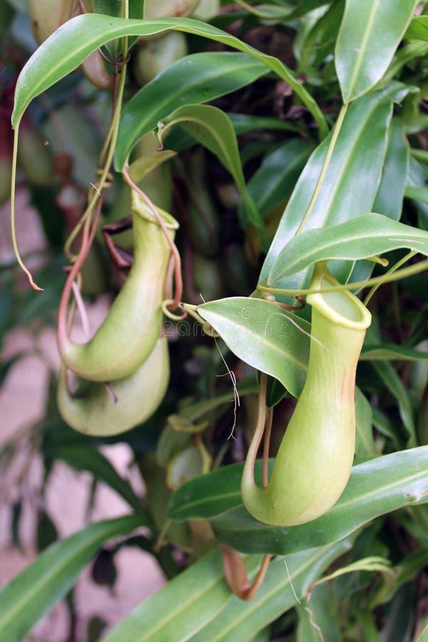 också som koppen som lokalt vets, härma nepentheskannaväxten royaltyfri bild