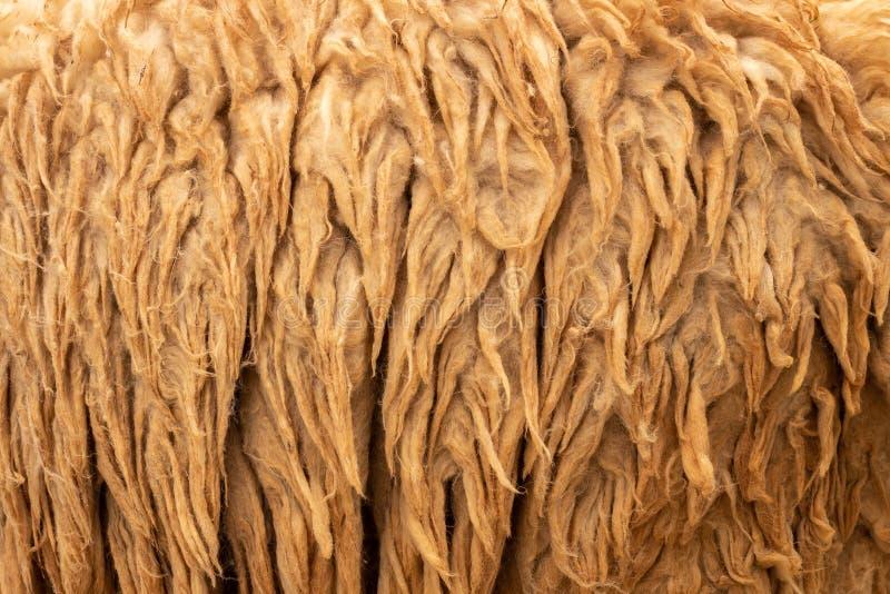 också ull för warmness för softness för bakgrundsbegrepp rå royaltyfri fotografi
