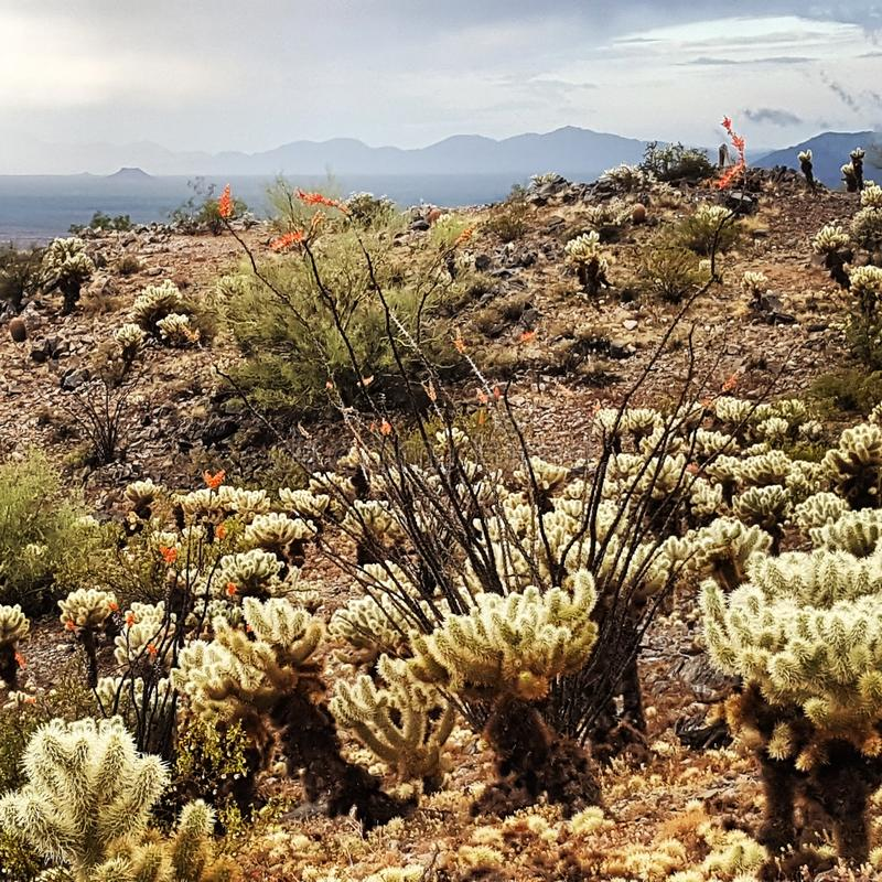 Ocotillo and Cholla. Ocotillo in Bloom stock photo