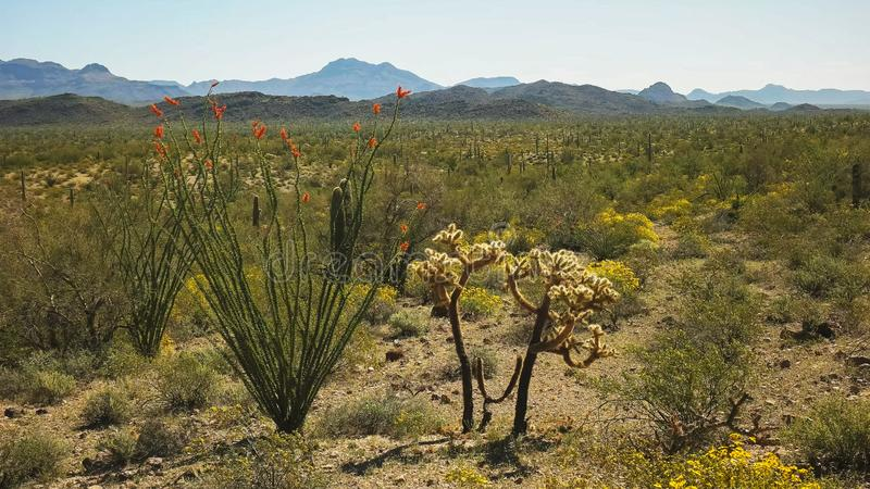 Ocotillo and cholla cactus in the sonoran desert at ajo in arizona royalty free stock photography