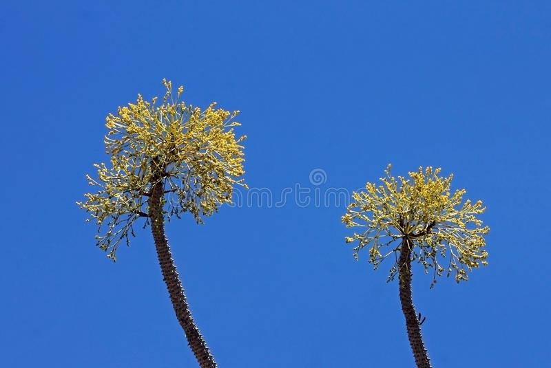 Ocotillo del Madagascar, procera di Alluaudia, cactus immagine stock libera da diritti