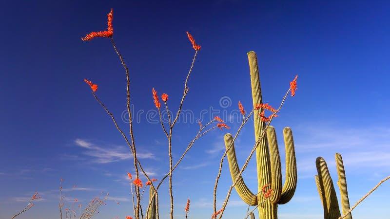 Ocotillo e cactus nel paesaggio del parco nazionale del saguaro immagini stock libere da diritti