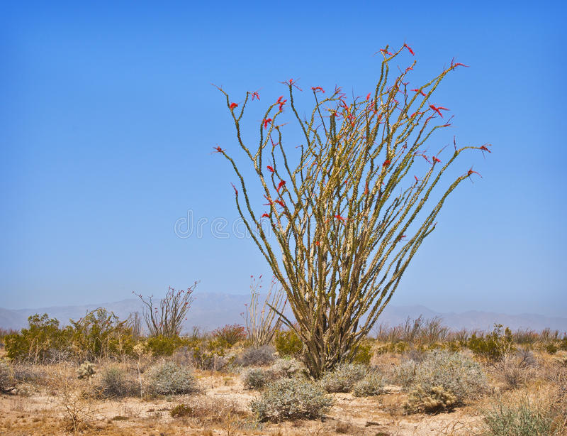 Ocotillo en el desierto de California foto de archivo libre de regalías