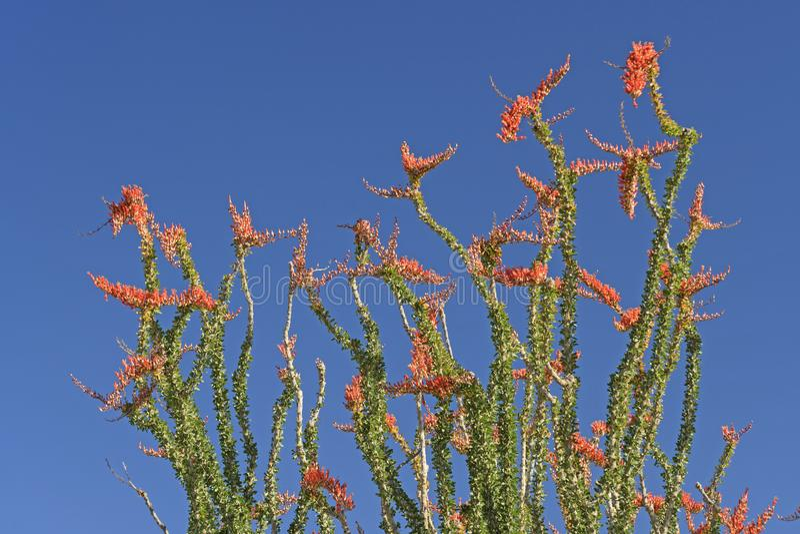 Ocotillo en la floración completa de la primavera imagen de archivo