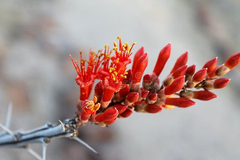Download Ocotillo karmazynów kwiat obraz stock. Obraz złożonej z lato - 41954921