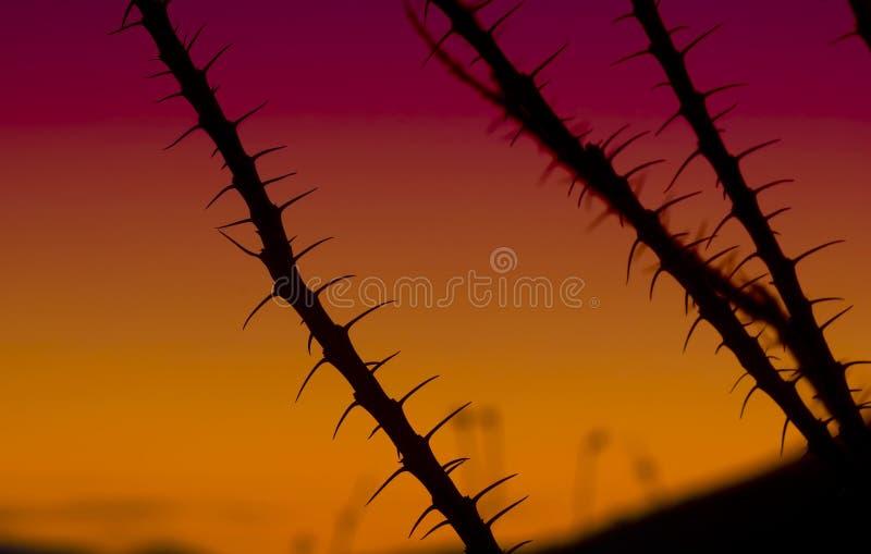 Ocotillo no por do sol fotos de stock