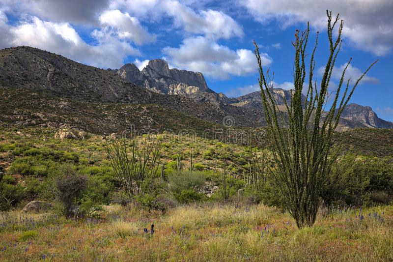 Ocotillo. And Saguaros in Catalina State Park stock photo