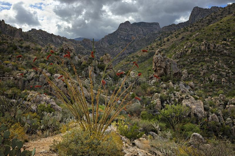 Ocotillo. And Saguaros in Catalina State Park stock photos