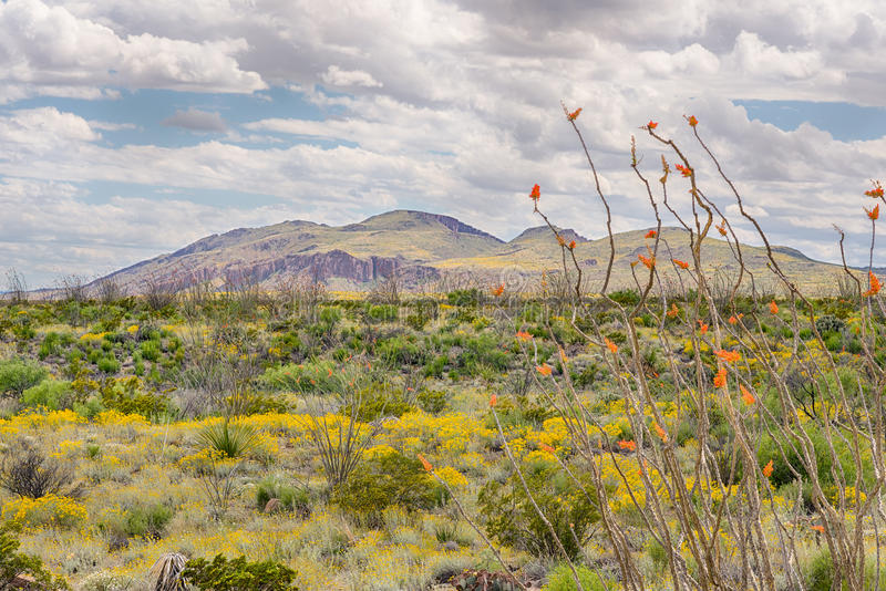 Ocotillo and Paper Flowers, Chisos Mountain Range, Big Bend National Park, TX royalty free stock photography
