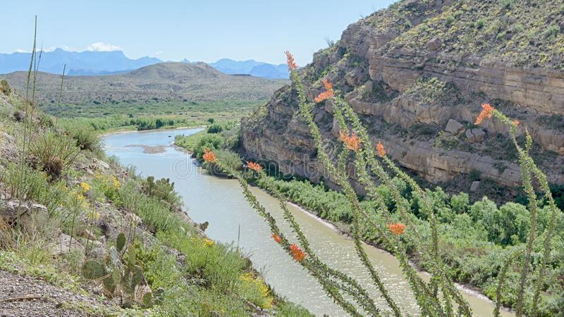 Ocotillo, Santa Elena Canyon, Chisos Mountains, Big Bend National Park, TX stock photo