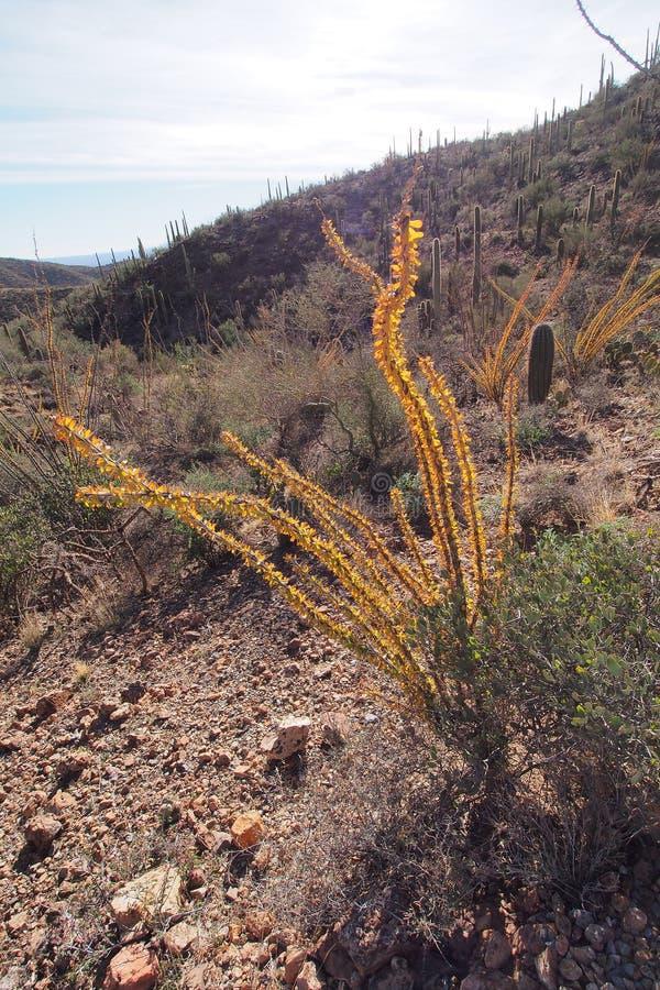 Ocotillo, splendens del Fouquieria, y clasificado otros cactus en parque nacional de Saguaro foto de archivo libre de regalías