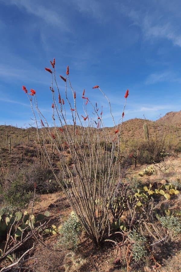 Ocotillo, splendens del Fouquieria, y clasificado otros cactus en parque nacional de Saguaro imagen de archivo