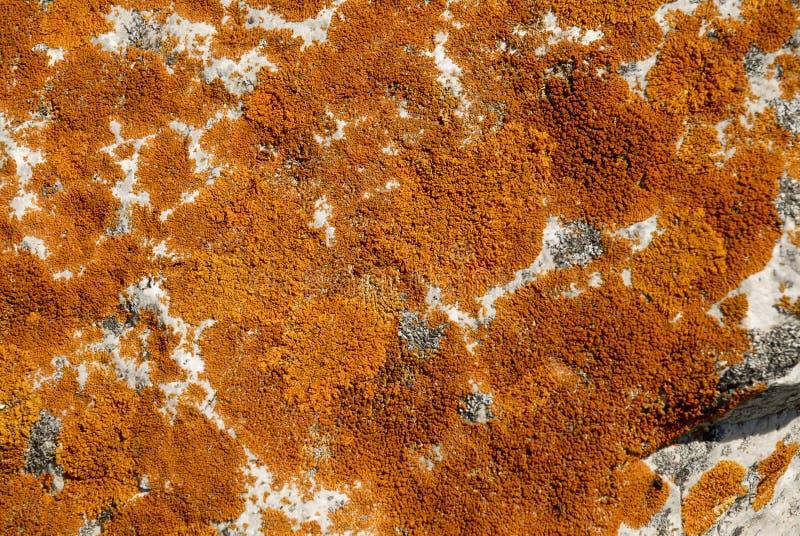ocre лишайников стоковая фотография rf