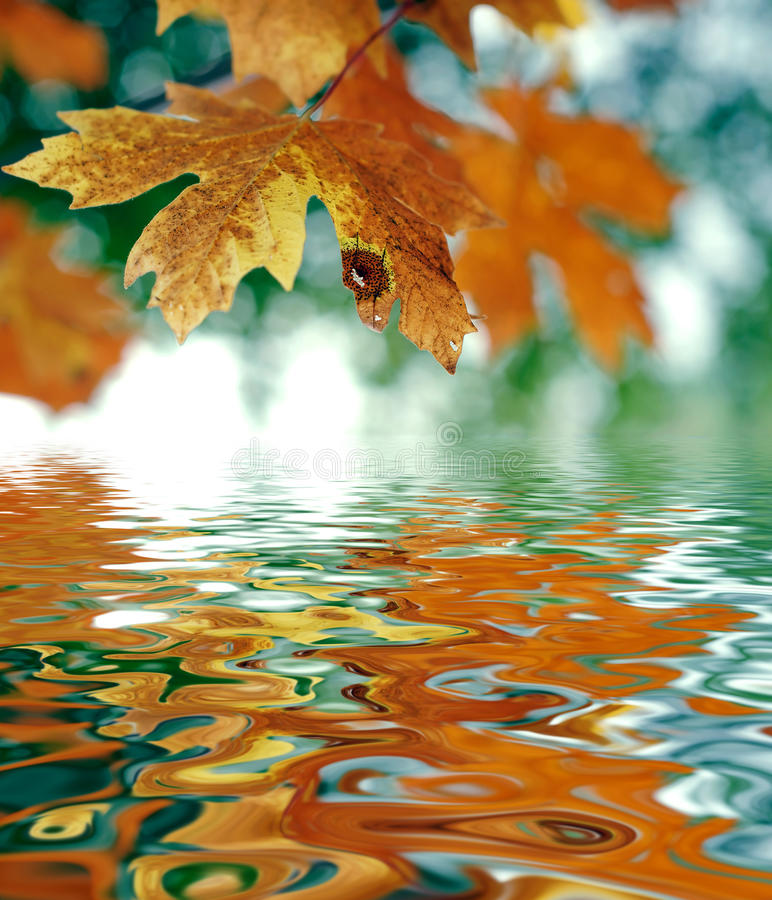 October Atumn Maple Leaf stock image