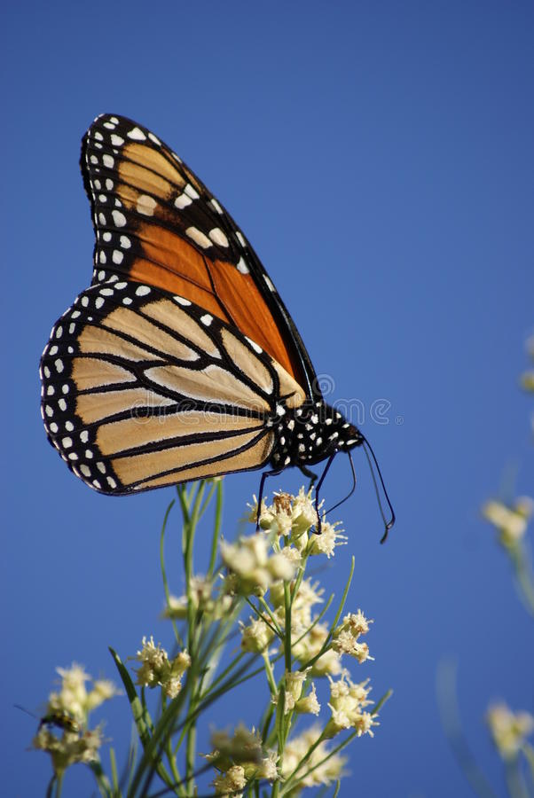 October Monarch. Monarch against a blue sky royalty free stock photography