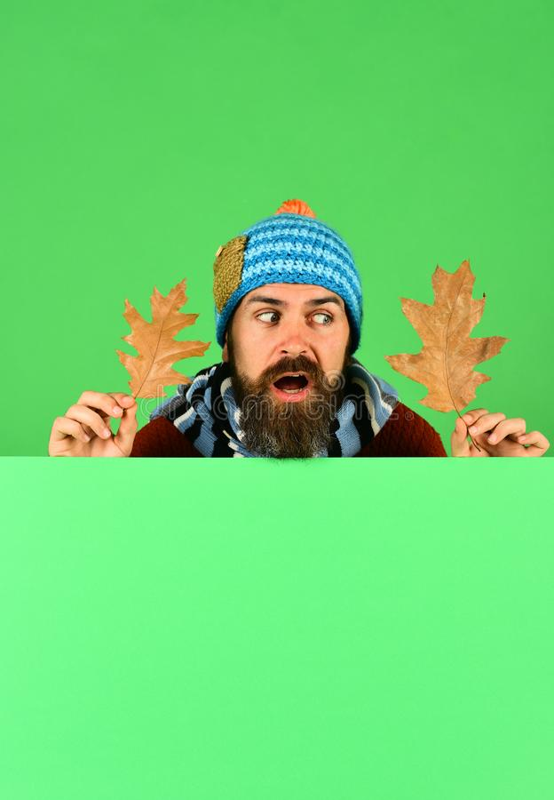 October and November time idea. Autumn and cold weather concept. Man in warm hat holds oak tree leaves on green background, copy space. Hipster with beard and stock image