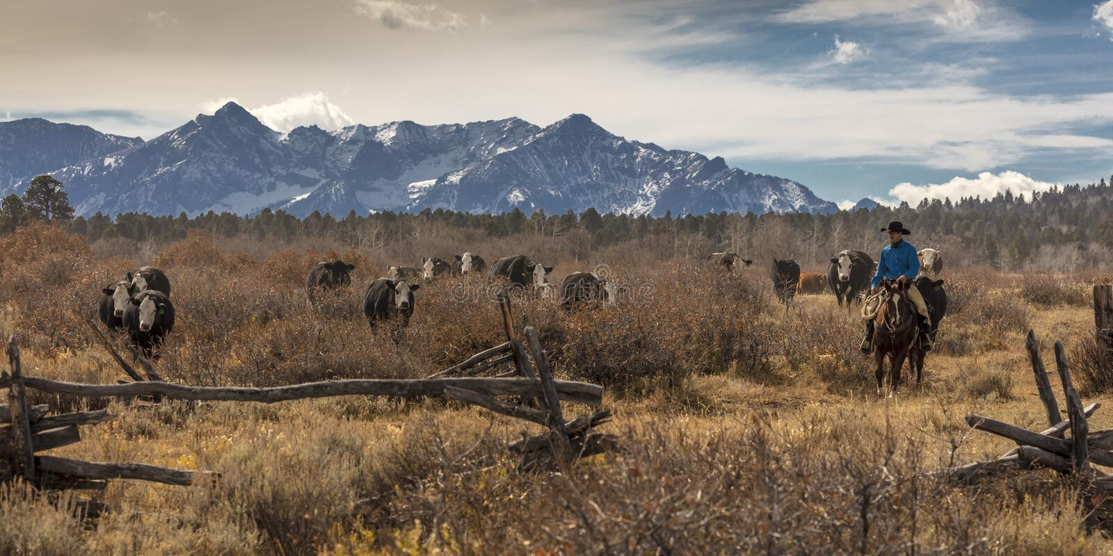 Cowboys on Cattle Drive Gather Angus/Hereford cross cows and cal. OCTOBER 2017, Ridgway, Col. orado: Cowboys on Cattle Drive Gather Angus/Hereford cross cows and royalty free stock images