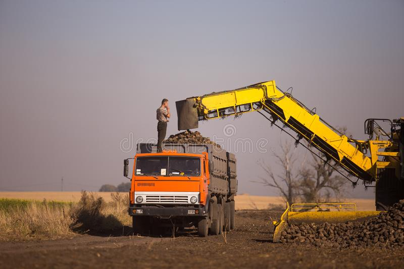 October 14, 2014. Ukraine. Kiev. A young Caucasian man works during the harvest in the field, loading sugar beet into a truck,. Using a loader, a sunny day and royalty free stock images