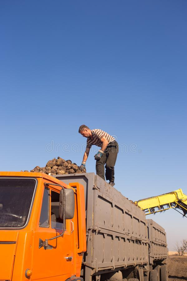 October 14, 2014. Ukraine. Kiev. A young Caucasian man works during the harvest in the field, loading sugar beet into a truck,. Using a loader, a sunny day and royalty free stock photo