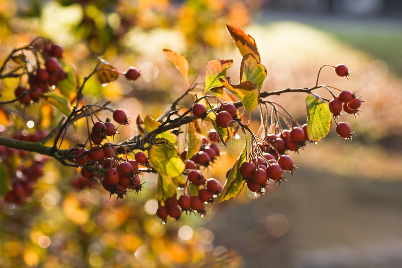 Octobercolors. Red berry's and golden leaves in the autumn sun stock photography