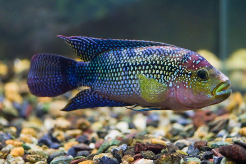 Octofasciatum Cichlasoma Επιπλέοντα σώματα οκτώ-παρόδων Cichlasoma ψαριών στο διαφανές ενυδρείο στοκ φωτογραφίες