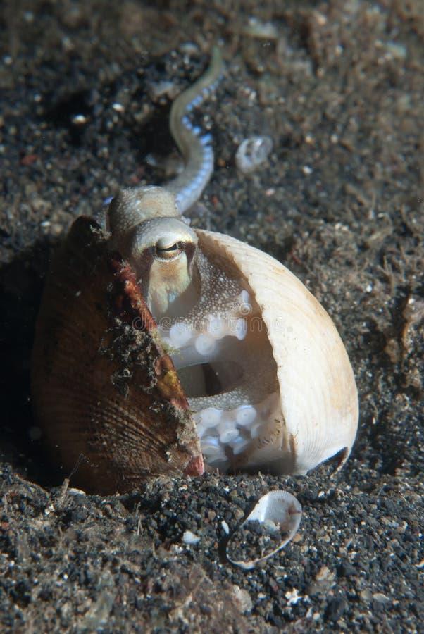 Octolpus Peeping imagens de stock