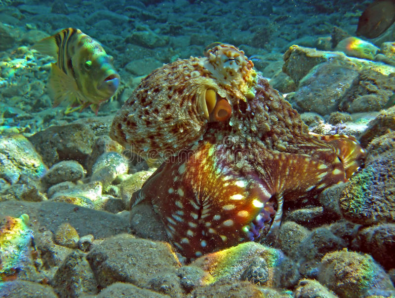 Download Octopus Stock Images - Image: 16443334