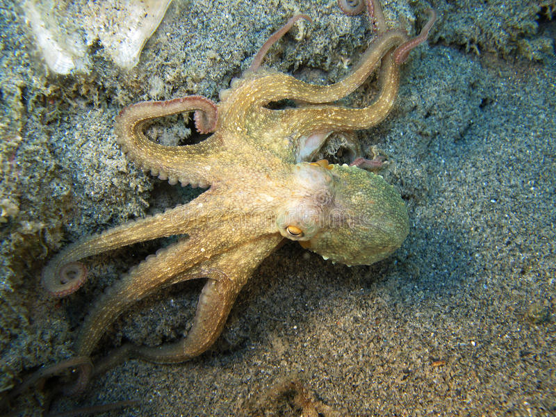 """Octopus. """" Vulgaris"""". Shot captured in the wild"""