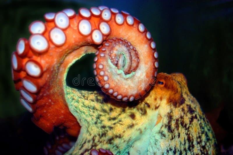 Octopus stock image