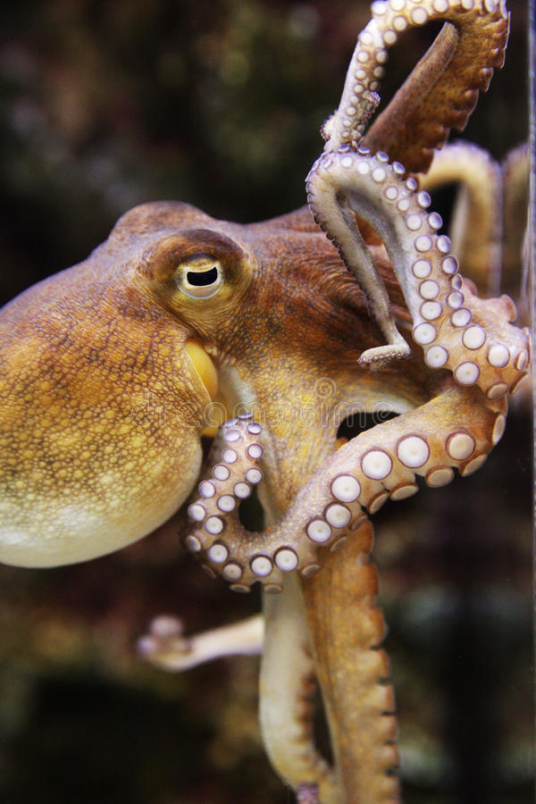 Swimming Octopus with Tentacles curling royalty free stock photo