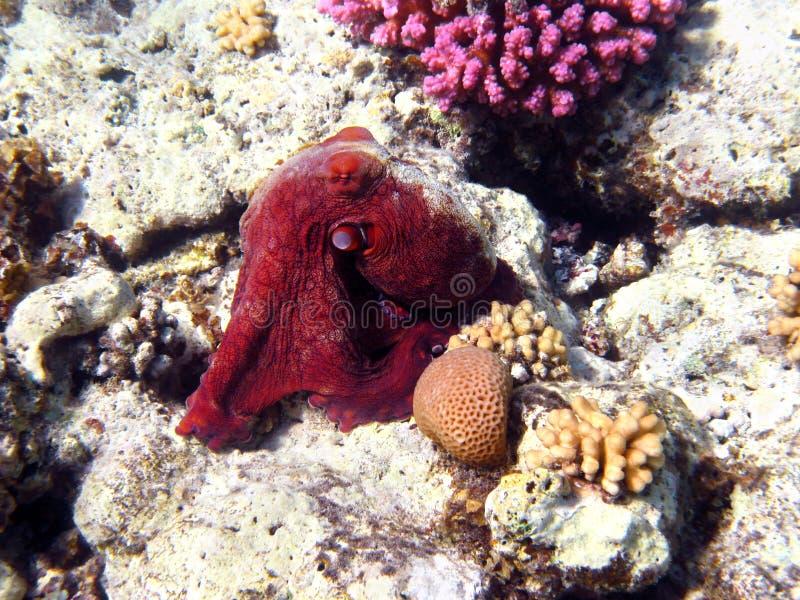 Octopus en koraalrif in Rode overzees royalty-vrije stock afbeeldingen
