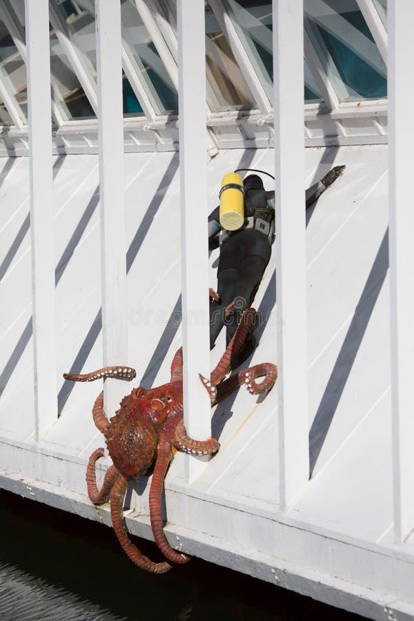Octopus grabs scuba diver royalty free stock photo
