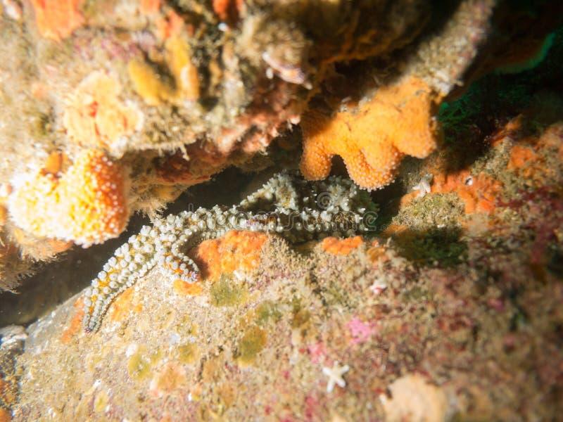 Octopus het verbergen onder een rots, de Atlantische Oceaan, Ierland royalty-vrije stock fotografie