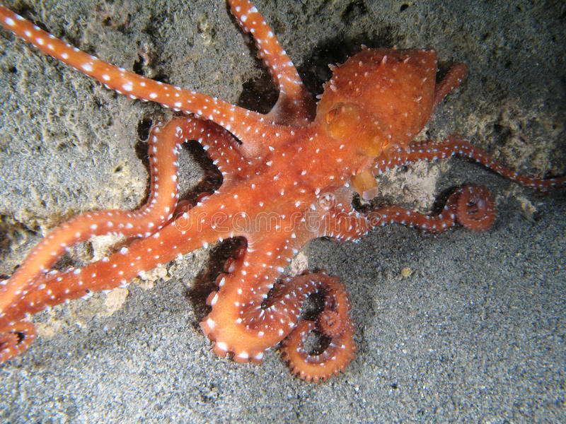 Octopus Macropus stock images
