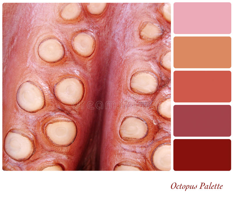Octopus Palette. A background closeup of ocopus tentacles in a colour palette with complimentary colour swatches royalty free stock images